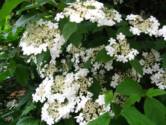 Цветки калины