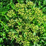 Цветущие стебли петрушки