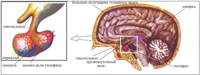 гипофиз и гипоталамус