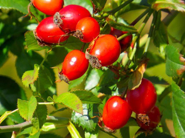 Ветка с плодами шиповника