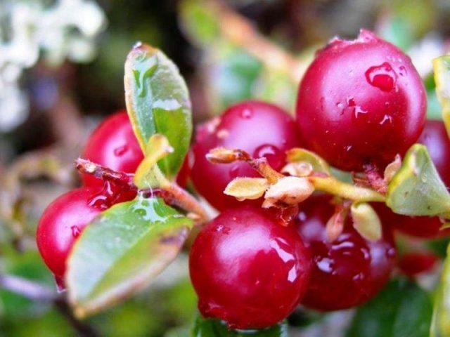Ветка с ягодами брусники