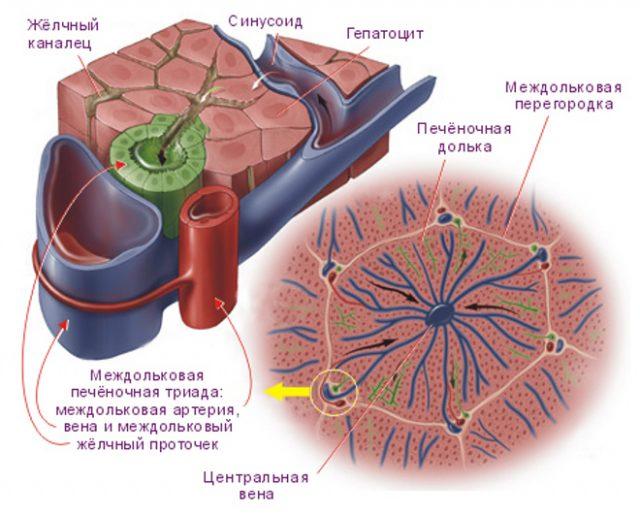 Нормальная структура печёночной дольки