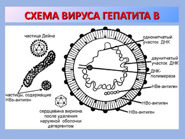 Вирус гепатита В (схема)