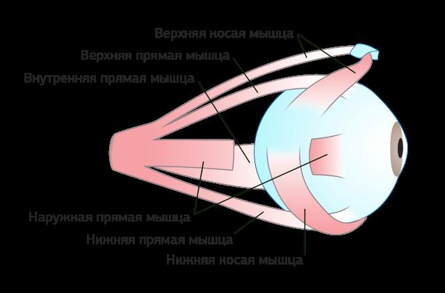 Мышцы глазного яблока