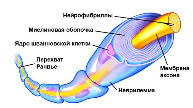 Строение миелиновой оболочки нервного волокна