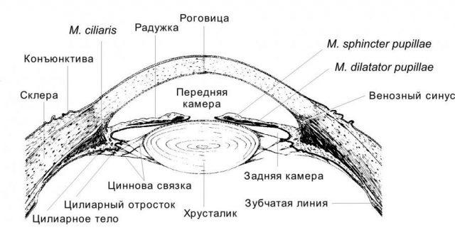 Строение переднего отдела глазного яблока