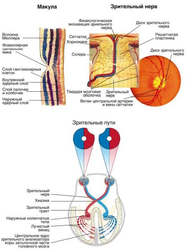 Строение волокон зрительного нерва