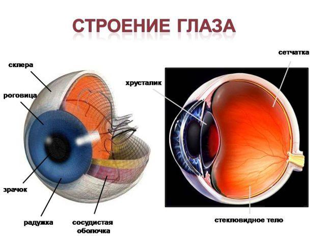 Внутреннее строение глаза (схема)