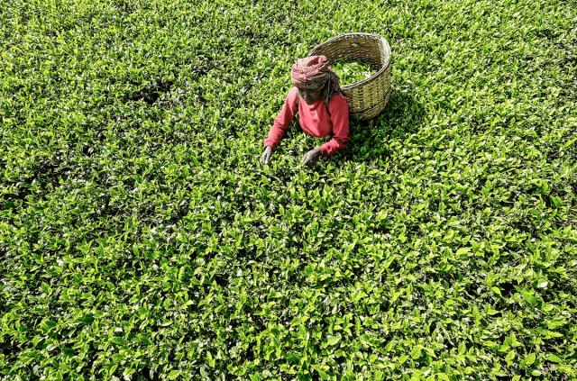 Чай на плантации