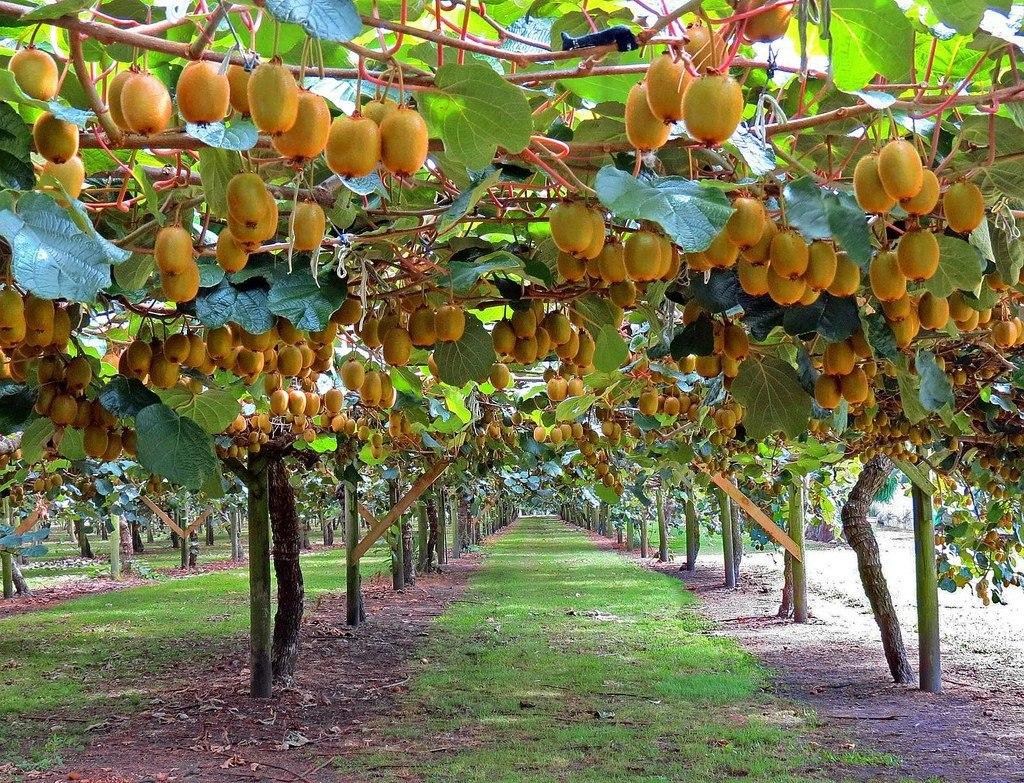 фотографии фрукты растут на деревьях картинки всегда