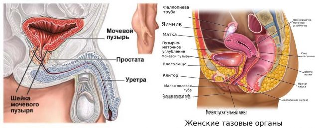 Анатомические особенности органов мочевыделения у мужчин и женщин