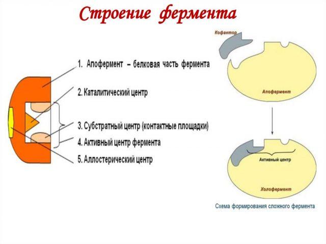Строение фермента (схема)