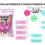 Механизм действия гормонов щитовидной и паращитовидных желёз