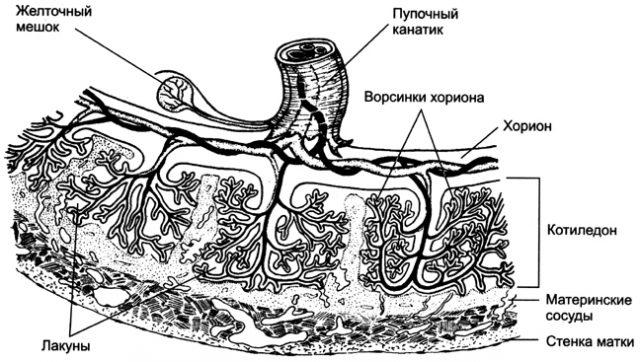 Сосуды матки и плаценты (схема)