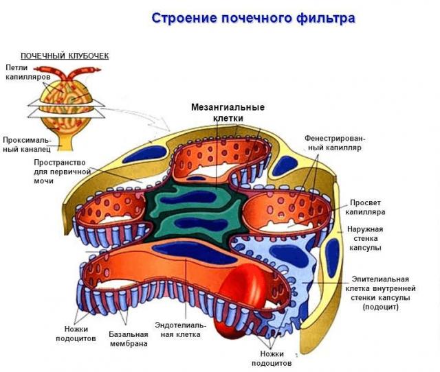 Строение почечного фильтра (схема)