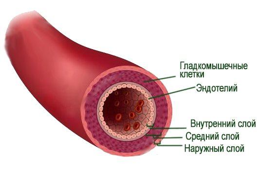 артерии строение в картинках приближается