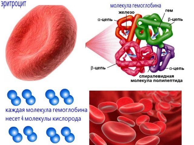 Эритроциты и гемоглобин (схема)
