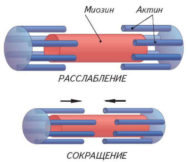 Схема мышечного сокращения