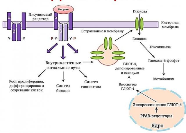 Механизм усвоения сахара крови клетками