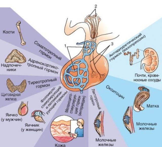 Гормоны гипофиза (схема)