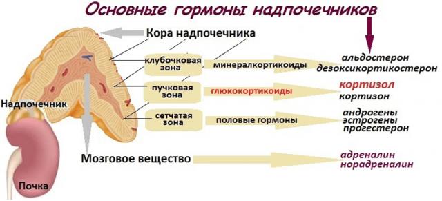 Надпочечники и их гормоны (схема)