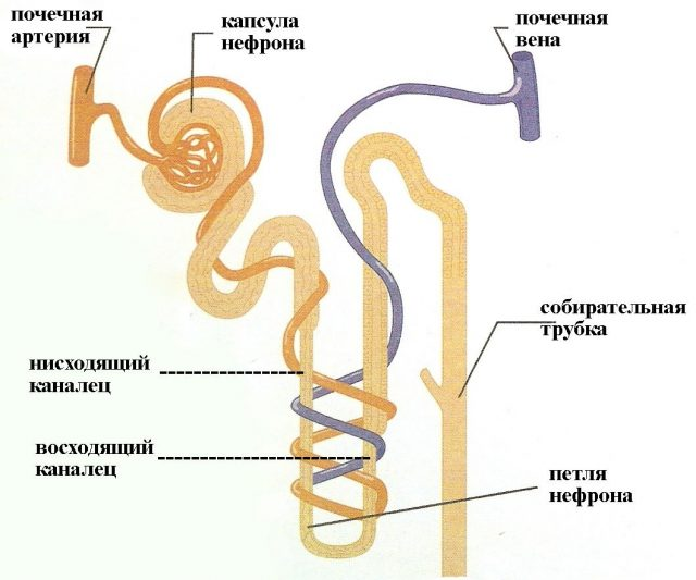 Нефрон (схема)