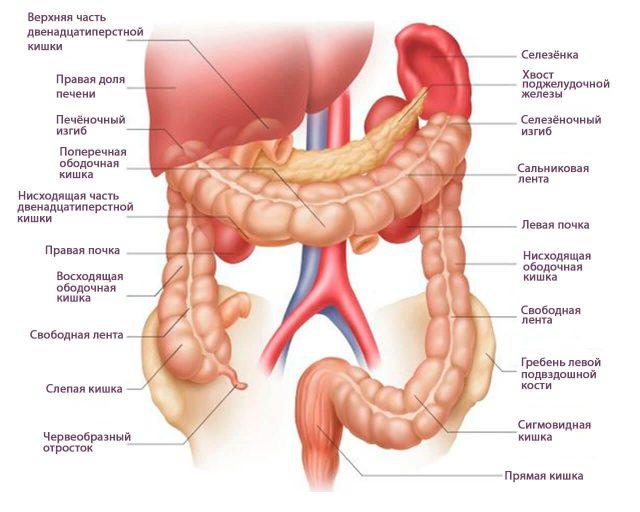 Строение кишечника (схема)