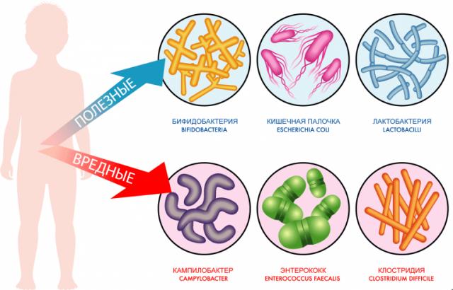Полезные кишечные бактерии (схема)
