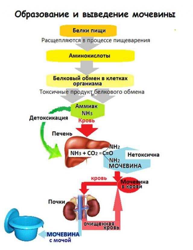 Обмен мочевины (схема)