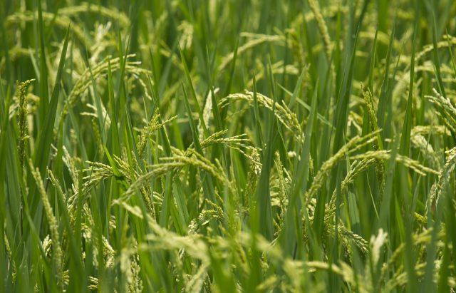 Рис растёт на поле