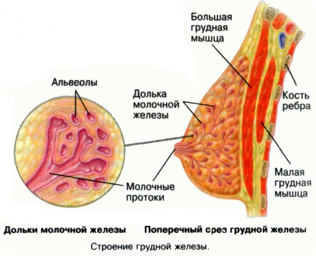Молочная железа — схема