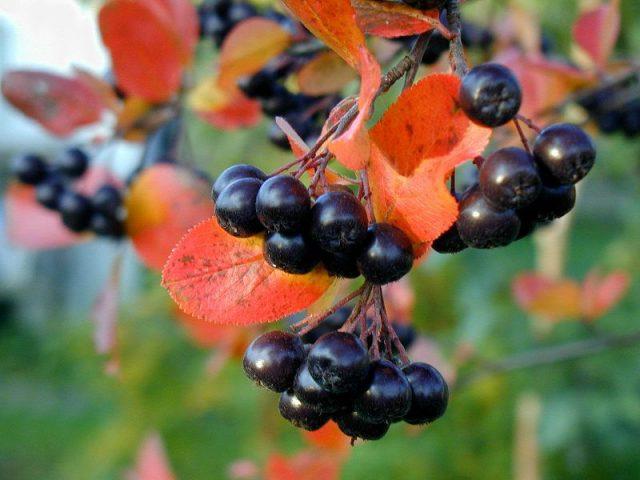 Черноплодная рябина в природе
