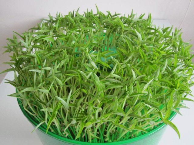 Проростки чечевицы