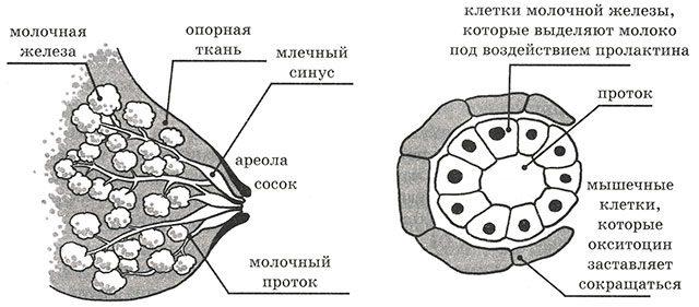 Схема грудь изнутри