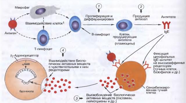 Механизм возникновения аллергии (схема)
