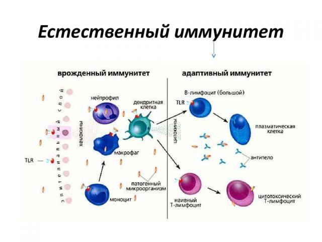 Естественный иммунитет (схема)