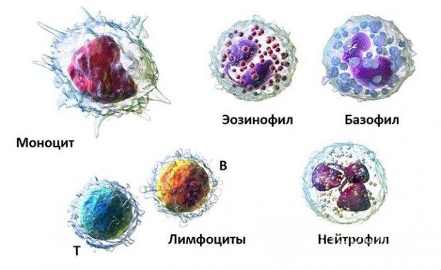 Белые клетки крови
