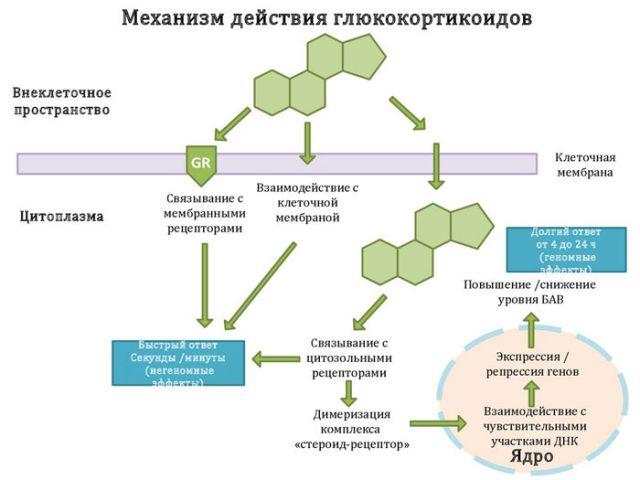 Механизм действия стероидов