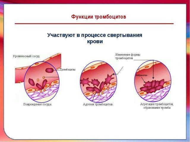 Тромбоциты при свёртывании крови