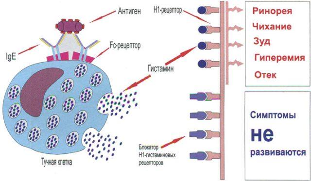 Механизм блокады гистаминовых рецепторов (схема)