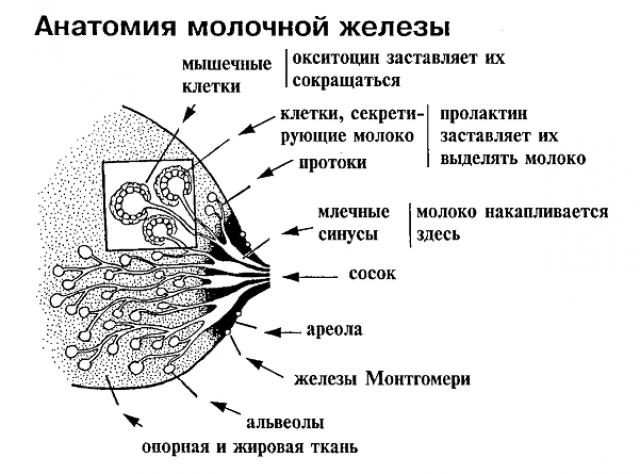 Строение молочной железы (схема)