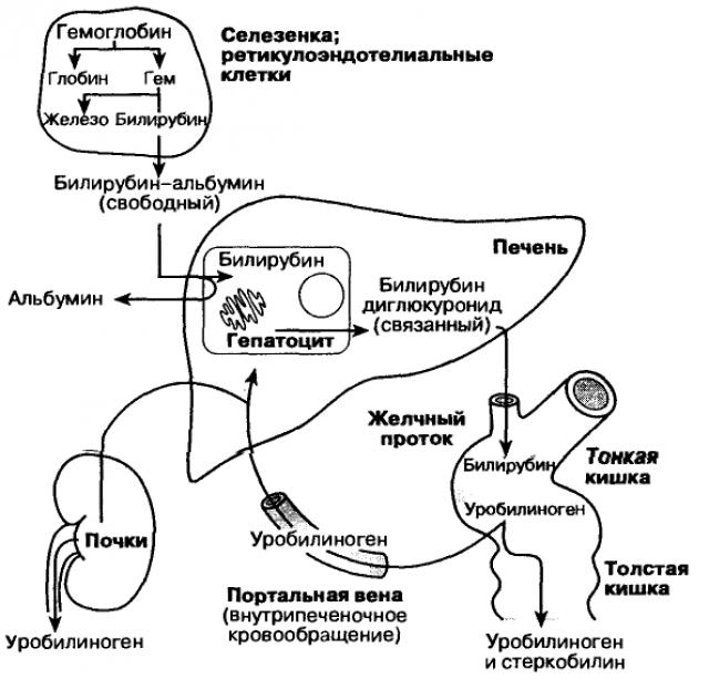 Метаболизм билирубина (схема)