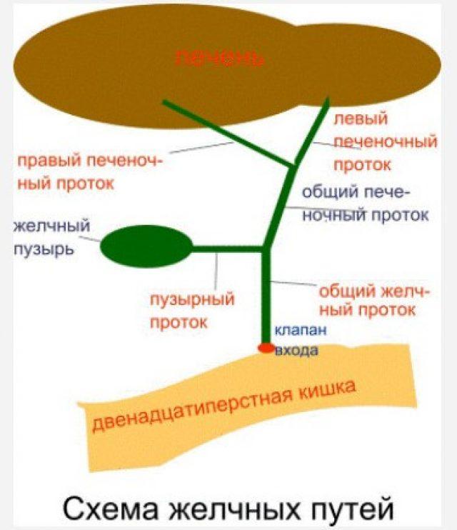 Желчевыводящие пути (схема)