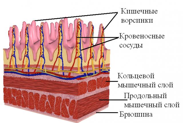 Стенка кишечника (схема)