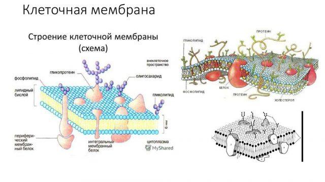 Строение оболочки гепатоцита (схема)