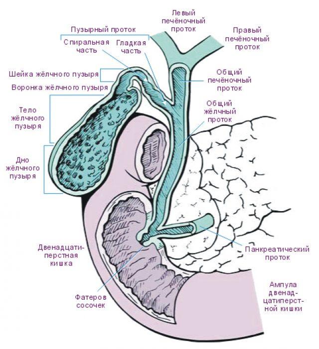 Строение желчевыводящих путей (схема)