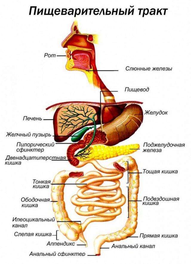 Пищеварительный тракт (схема)