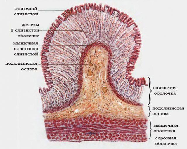 Строение стенки желудка (картина под микроскопом)