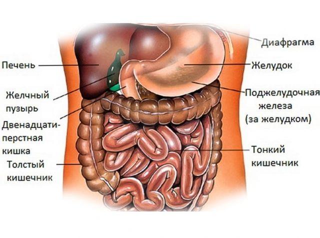 Строение пищеварительного тракта (схема)