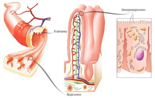 Ворсинки кишечника (схема)
